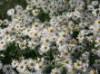 Stauden - Sternwolkenaster 'Snowbank', Boltonia asteroides 'Snowbank', Topfballen